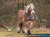 TrekpaardenSellingen_17dec2011_012