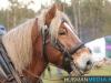 TrekpaardenSellingen_17dec2011_023