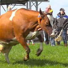 preview evenementregistratie dansende en springende koeien bij landleven in onstwedde